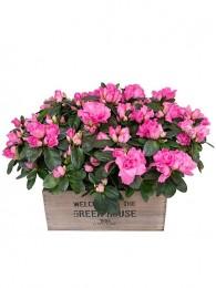 Azaleas rosas en maceta decorativa