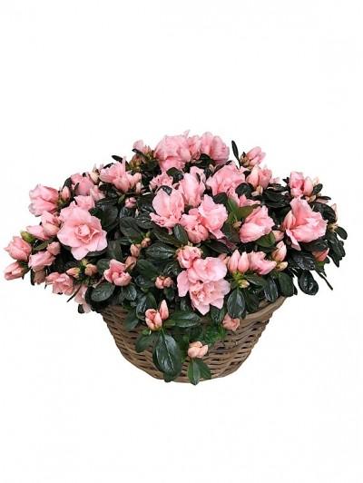 Cesta de 4 azaleas rosas