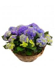 Cesta de cuatro hortensias azules