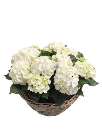 Cesta de cuatro hortensias blancas