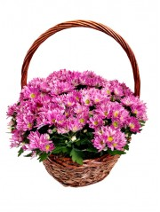 cesta de cinco margaritas rosas