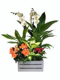 Cesta de  Plantas grande orquidea blanca