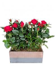 1 Cesta de dos rosales rojos