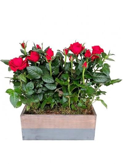 Cesta de dos rosales rojos