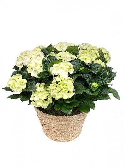 Cesta de dos hortensias blancas