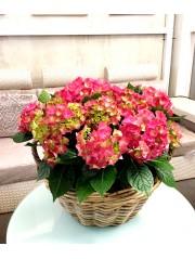 Cesta de cuatro hortensias rosa fuerte