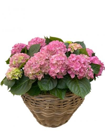Cesta de cuatro hortensias rosas