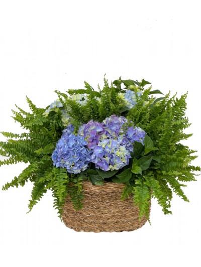Cesta de Hortensias azuless con helechos