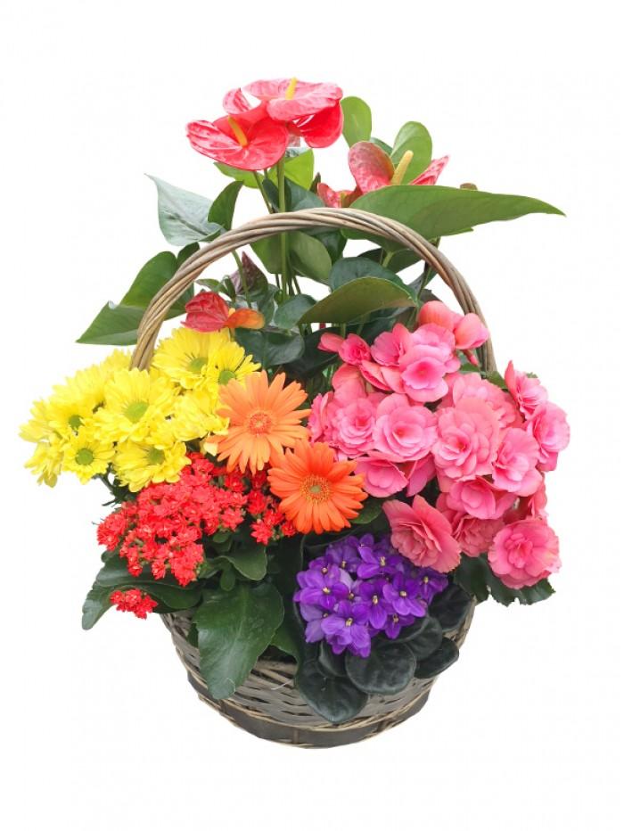 Cesta de plantas variadas Anthurium