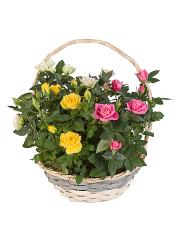 Cesta de plantas de rosales variados