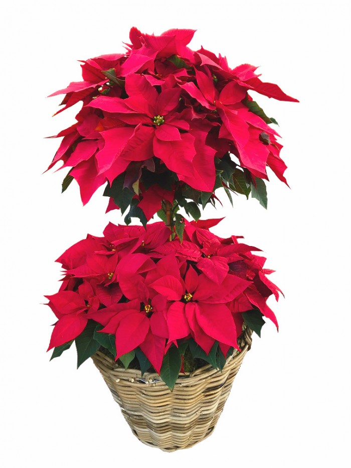 cesta de flores de pascua (DISPONIBLE SOLO PARA MADRID)