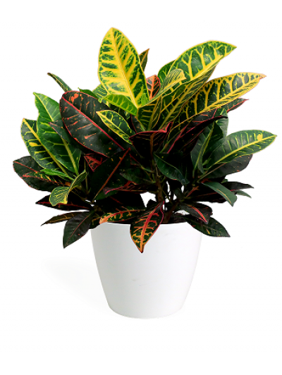 Croton en maceta decorativa
