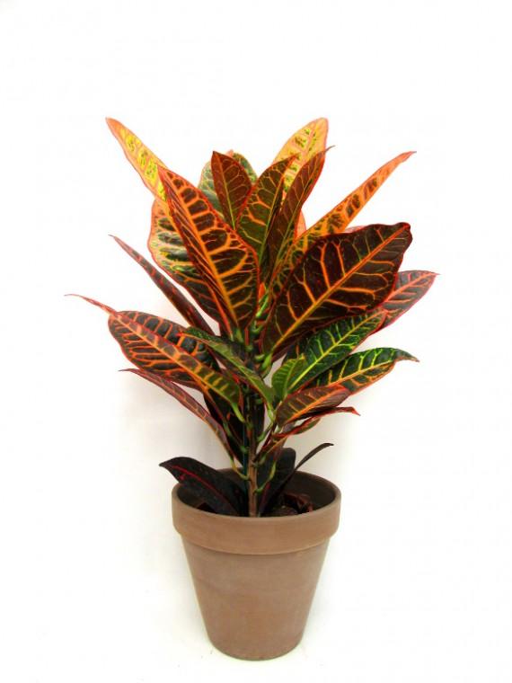 Croton en maceta de ceramica