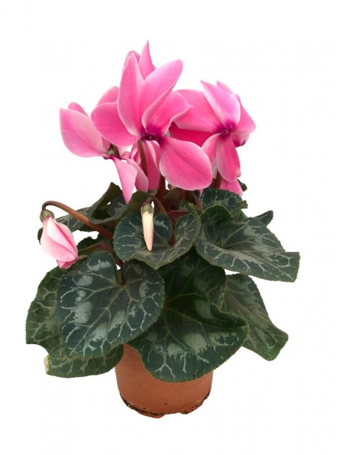 Cyclamen rosa M14