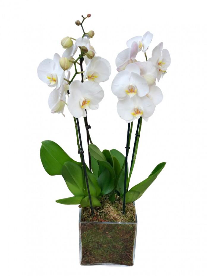 Centro de 2 orquideas blancas