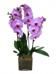 Centro de 2 orquideas rosas