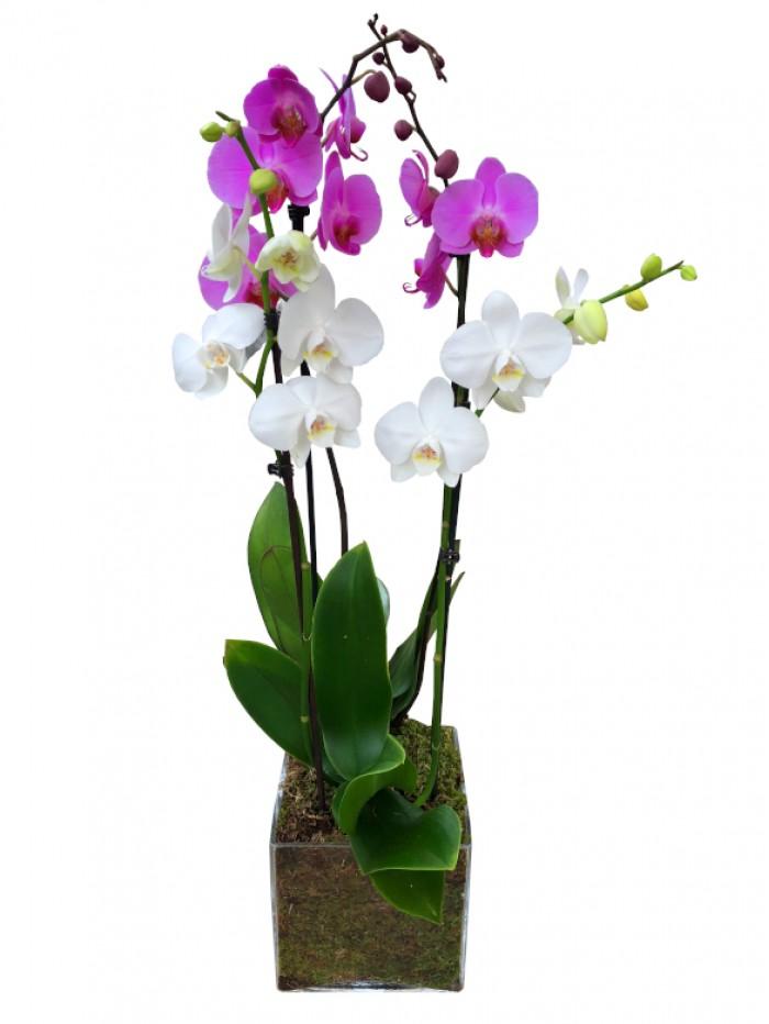 Centro de 2 orquideas variadas
