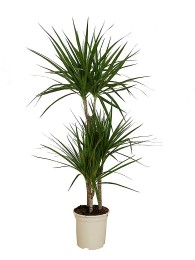 Dracena Marginata 120CM(DISPONIBLE SOLO PARA MADRID)