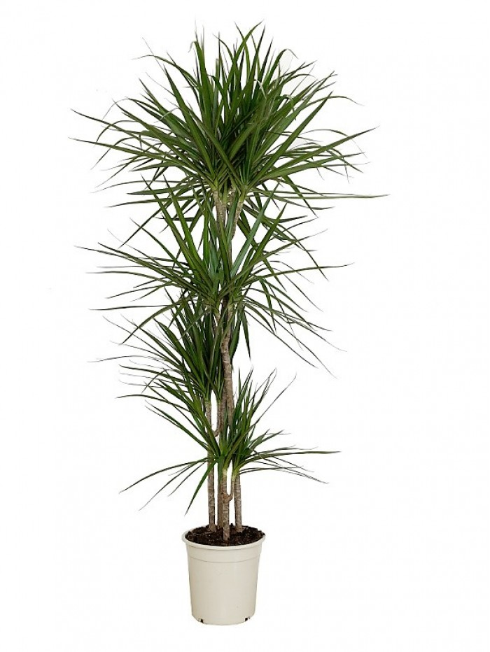 Dracena Marginata 150CM(DISPONIBLE SOLO PARA MADRID)