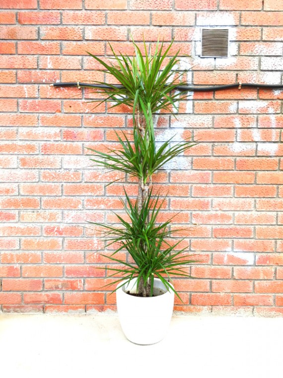 Dracena Marginata (DISPONIBLE SOLO PARA MADRID)