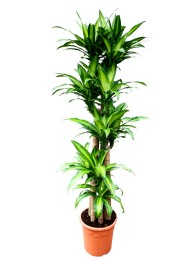 Dracena Massageana XXL