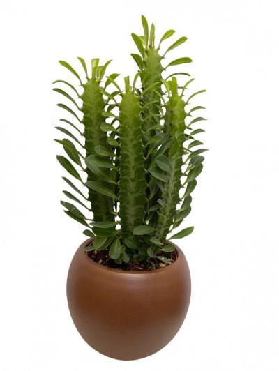 Euphorbia trigona MM