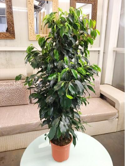 Ficus en maceta