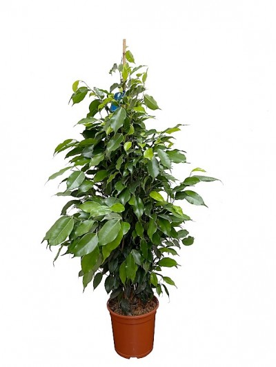 Ficus Danielle 1.20M (DISPONIBLE SOLO PARA MADRID)