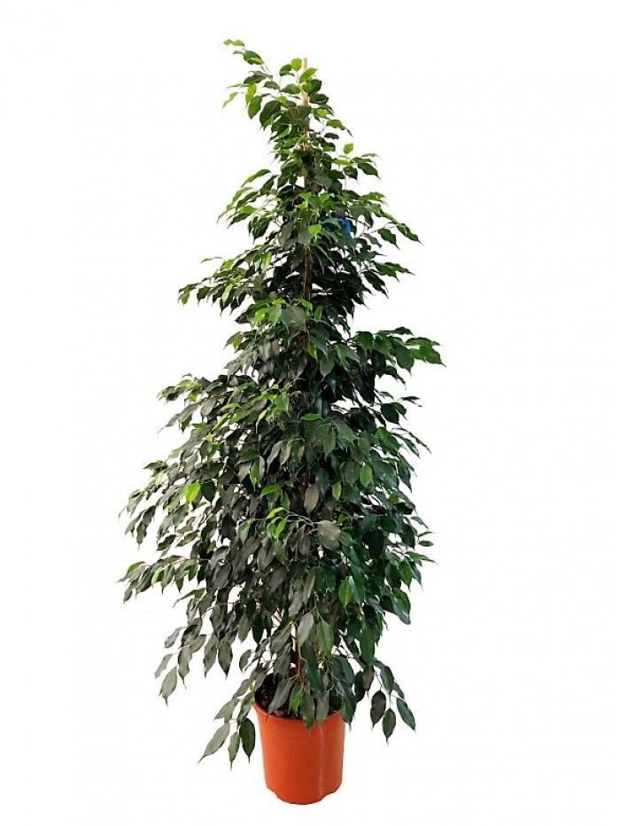 Ficus Danielle (DISPONIBLE SOLO PARA MADRID)