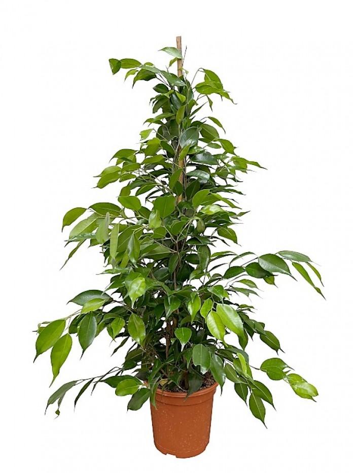 Ficus Benjamina 80CM en hidrojardinera (DISPONIBLE SOLO PARA MADRID)
