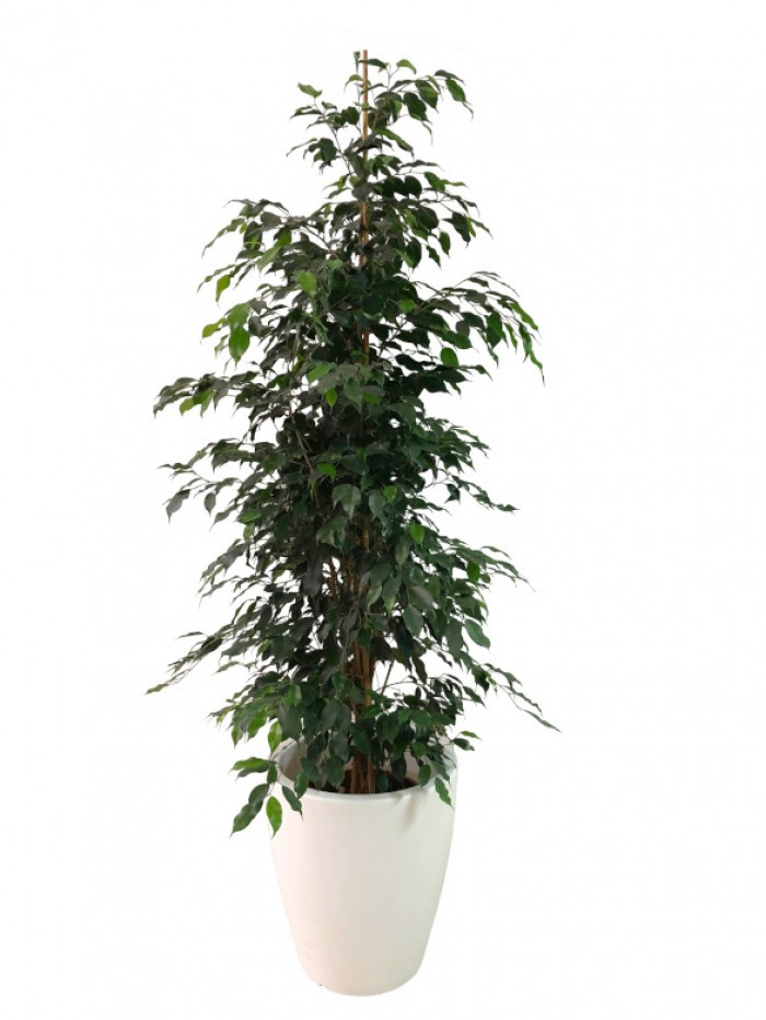 Ficus Benjamina 180CM en resina (DISPONIBLE SOLO PARA MADRID)