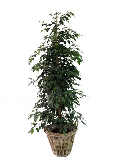 Ficus Danielle en cesta de mimbre (DISPONIBLE SOLO PARA MADRID)