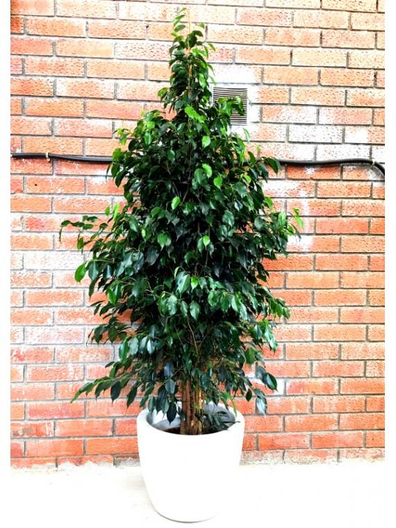 Ficus Benjamina en resina (DISPONIBLE SOLO PARA MADRID)