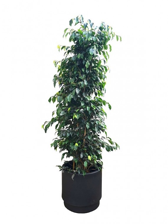 Ficus Benjamina 180CM en hidrojardinera (DISPONIBLE SOLO PARA MADRID)