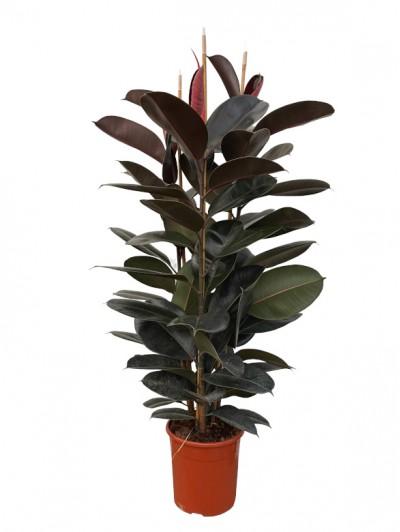 Ficus Robusta 150CM