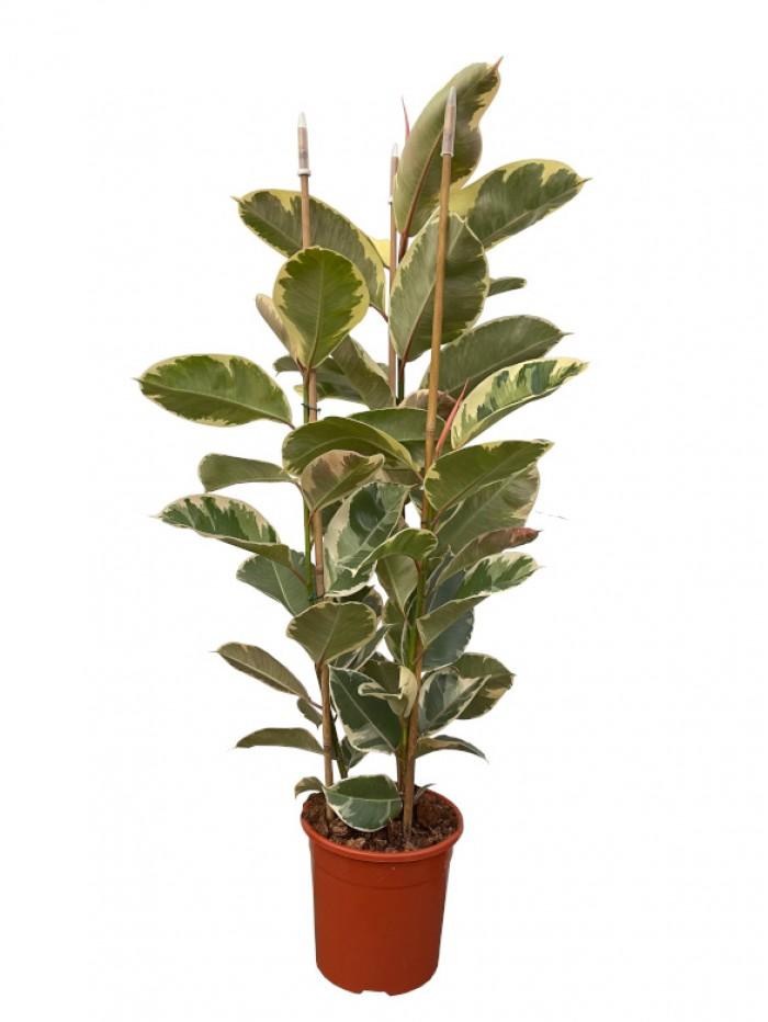 Ficus Robusta 150CM Variegata