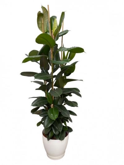 Ficus Robusta 2M Maceta decorativa