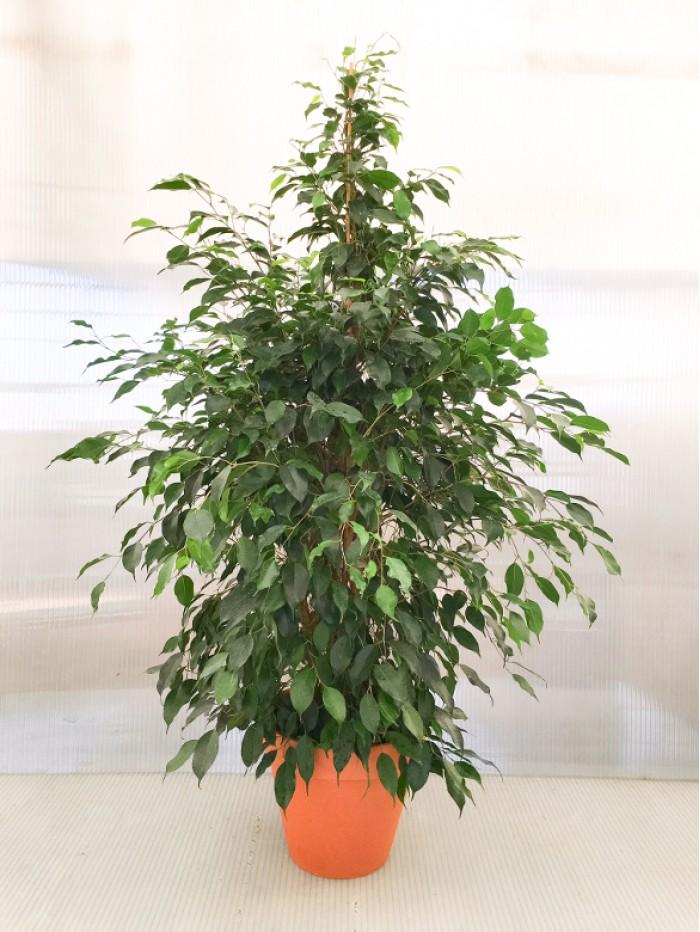 Ficus Danielle en ceramica (DISPONIBLE SOLO PARA MADRID)