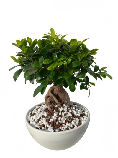 Bonsai ficus ceramica con piedras