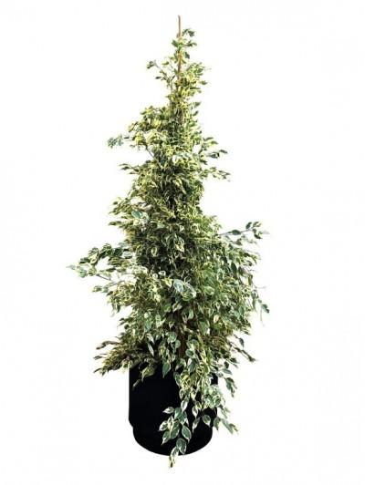 Ficus Variegata 180CM  (DISPONIBLE SOLO PARA MADRID)