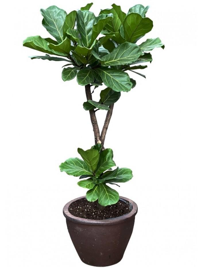 Ficus Lyrata arbol cerámica Asiatica (DISPONIBLE SOLO PARA MADRID)