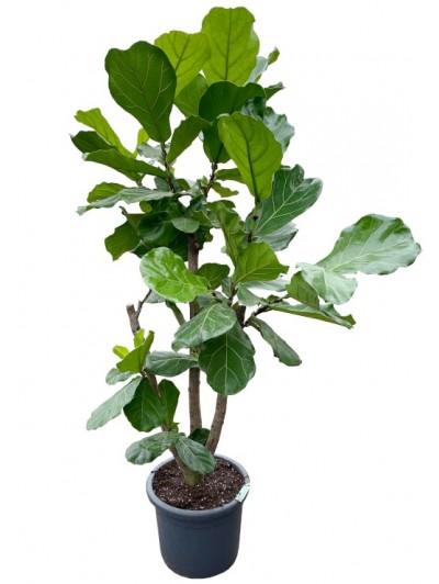 Ficus Lyrata arbol  (DISPONIBLE SOLO PARA MADRID)