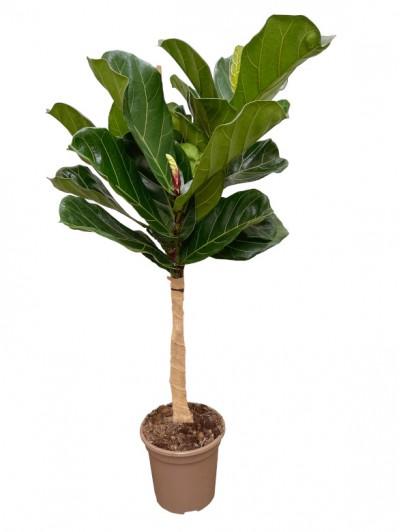 Ficus Lyrata  Árbol 1.50M