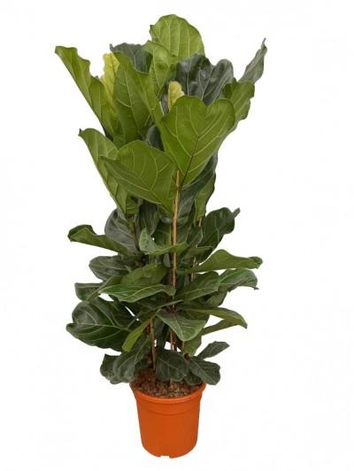Ficus Lyrata arbusto  (DISPONIBLE SOLO PARA MADRID)