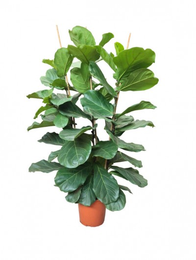 Ficus Lyrata arbusto  (DISPONIBLE SOLO PARA MADRID)