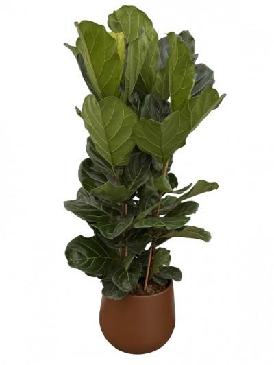 Ficus Lyrata en Ceramica gris(DISPONIBLE SOLO PARA MADRID)