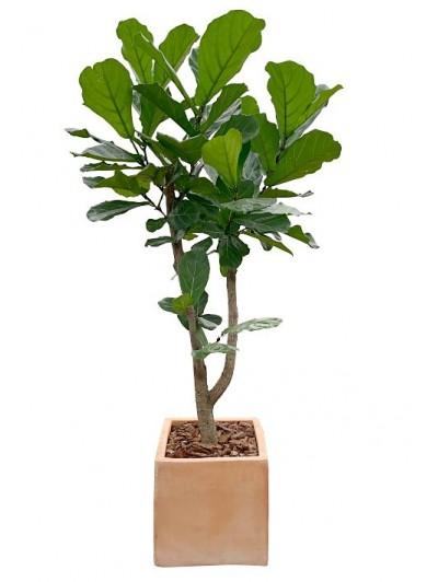 Ficus Lyrata arbol cerámica  (DISPONIBLE SOLO PARA MADRID)