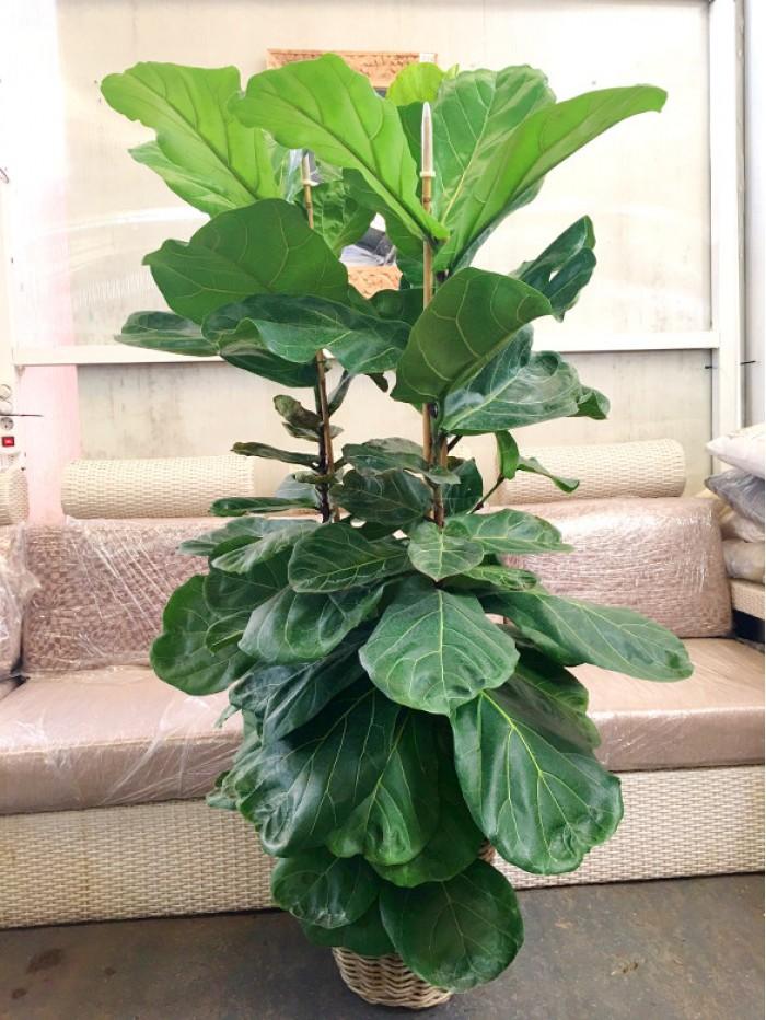Ficus Lyrata en cesta de mimbre (DISPONIBLE SOLO PARA MADRID)