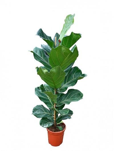 Ficus Lyrata M30(DISPONIBLE SOLO PARA MADRID)
