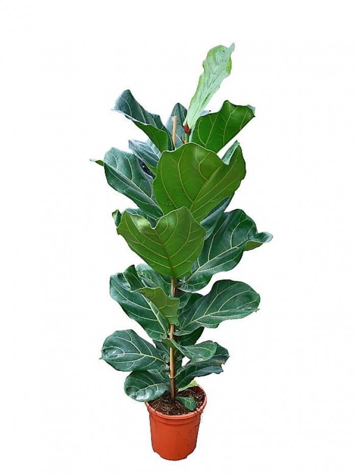 Ficus Lyrata M25